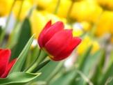 red-tulip-1366586-640x480